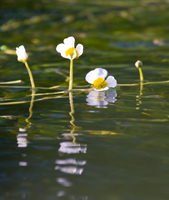 Water Crowfoot - copyright Allen Beechey