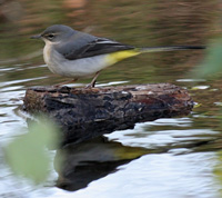Grey Wagtail - Copyright Allen Beechey