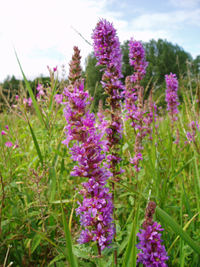 Purple loosestrife - copyright Allen Beechey