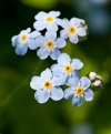 Water Forget-Me-Not - copyright Allen Beechey